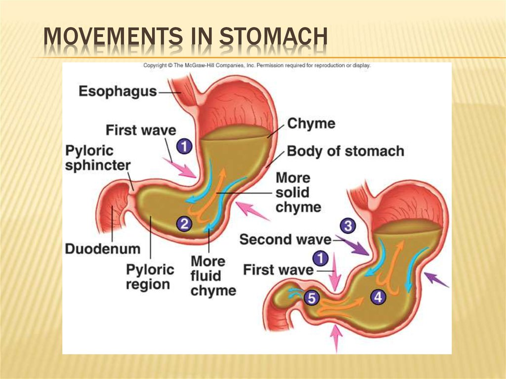 Movements in Stomach