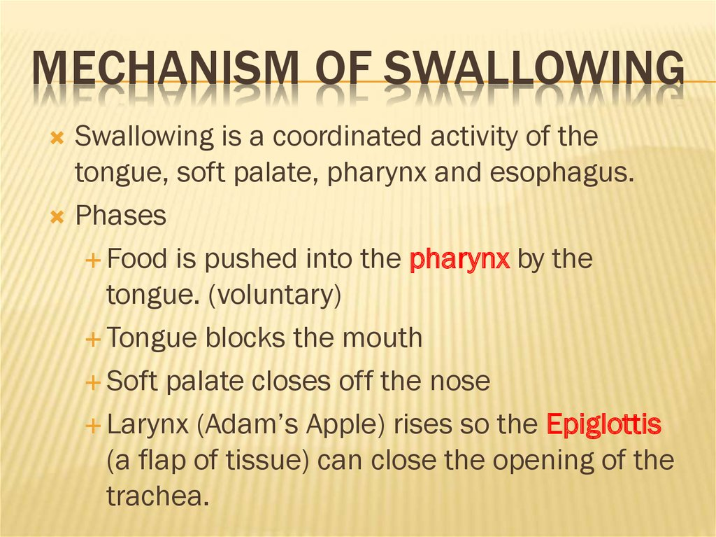 Mechanism of Swallowing