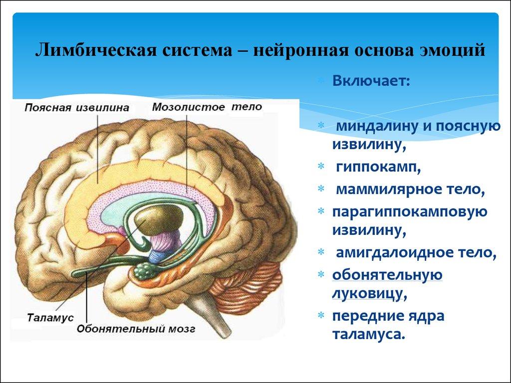 Лимбическая система мозга схема