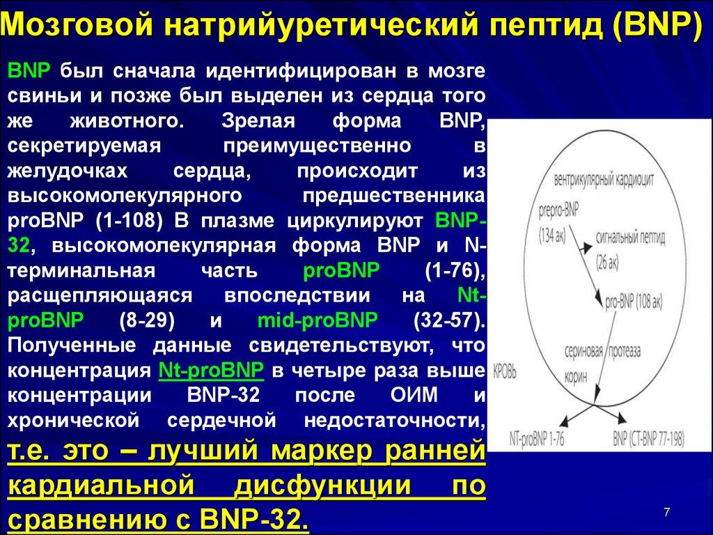 Bnp мозговой натрийуретический пептид