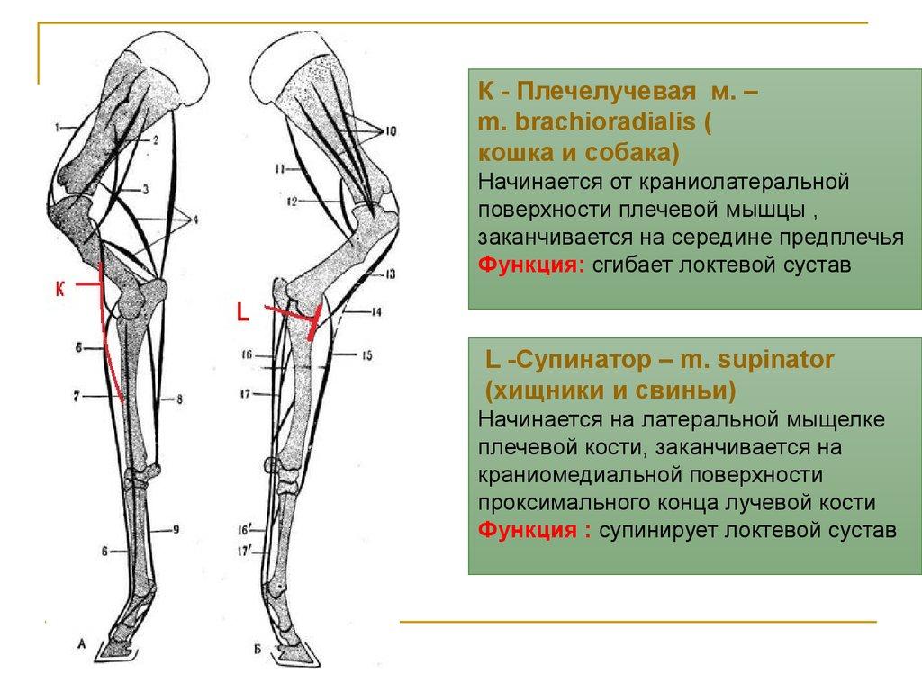 плечевой сустав ноги