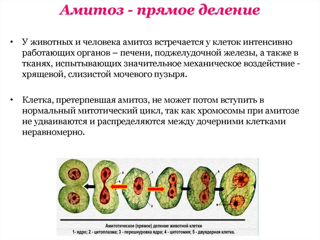 Почему амитоз называют прямым делением клетки