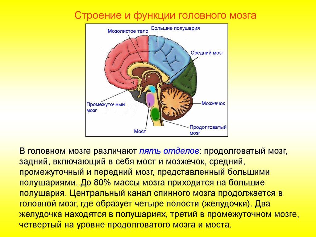 презентация мозжечок строение и функции