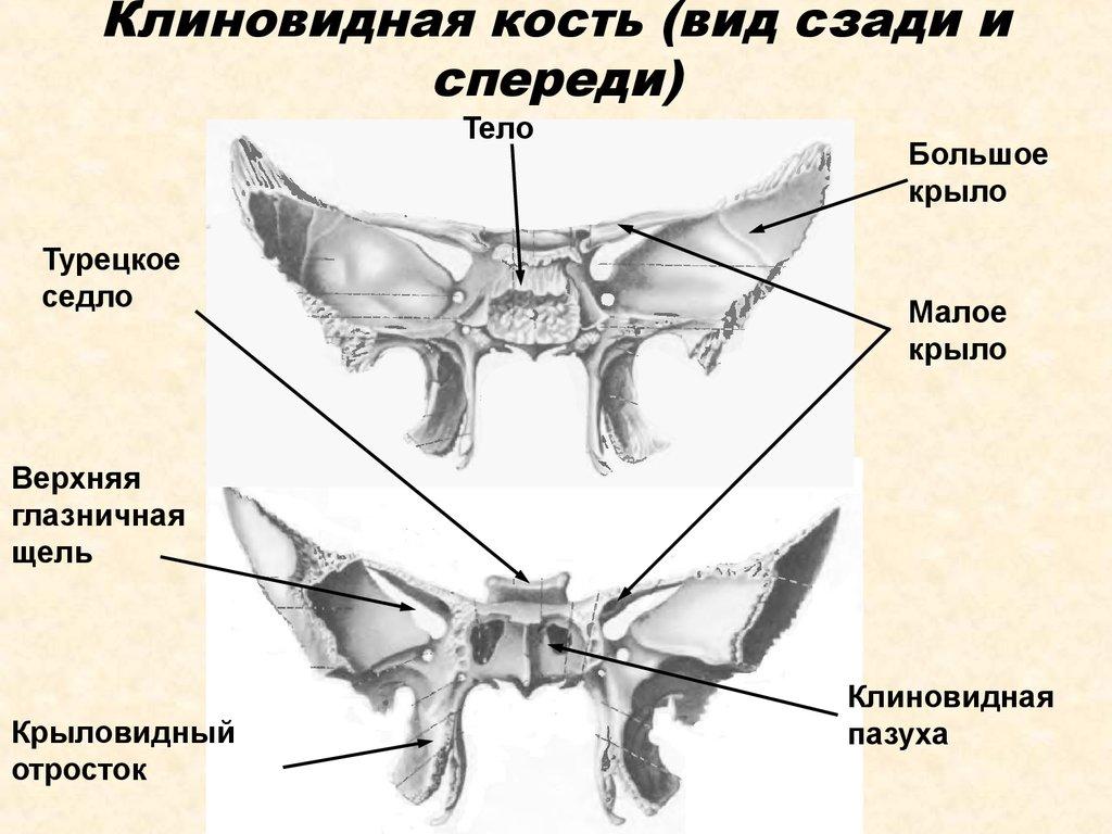 Кость Клиновидная