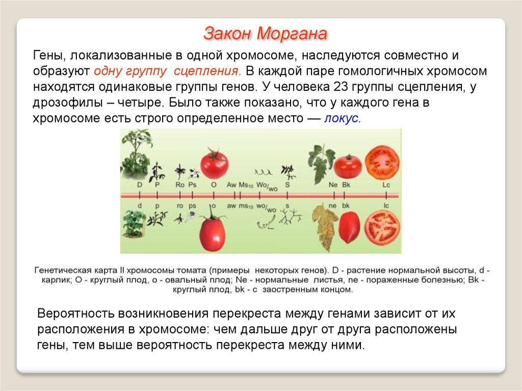Как расположены гены в хромосомах
