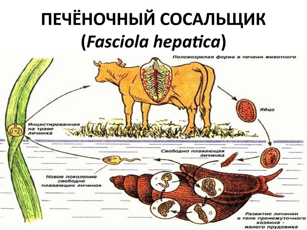 паразиты анализе крови человека