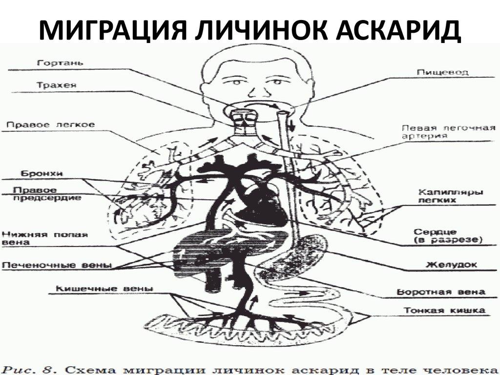 плоские черви у человека лечение