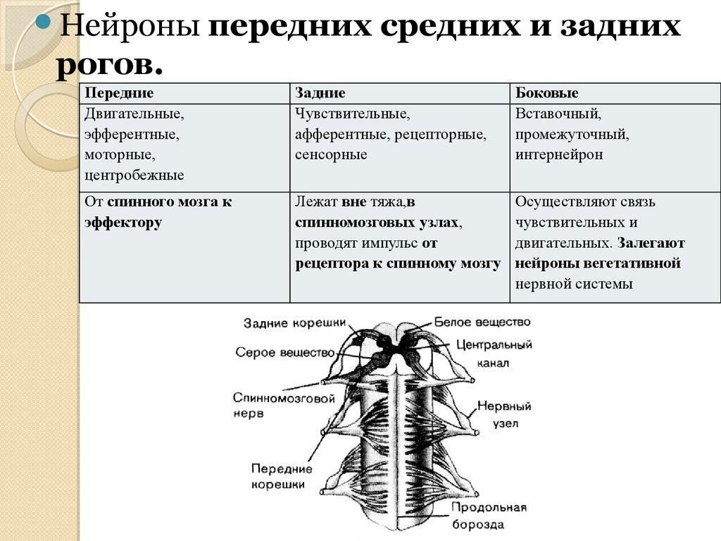 Нейрон вставочный