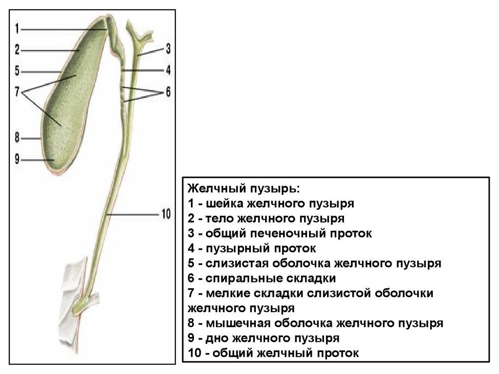 Проток Эндолимфатический
