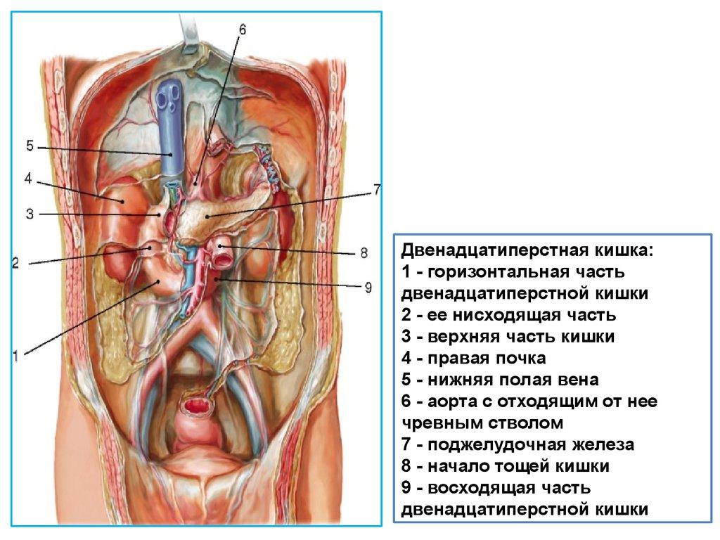 Цементоцит