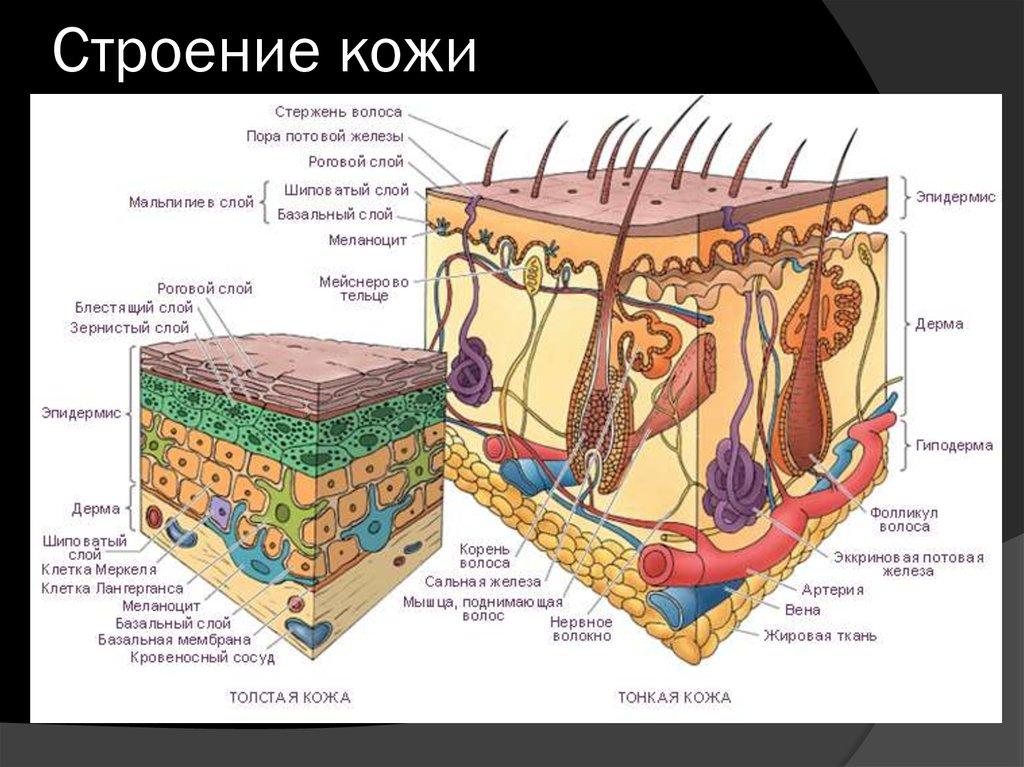 Зубы органы за которые отвечают