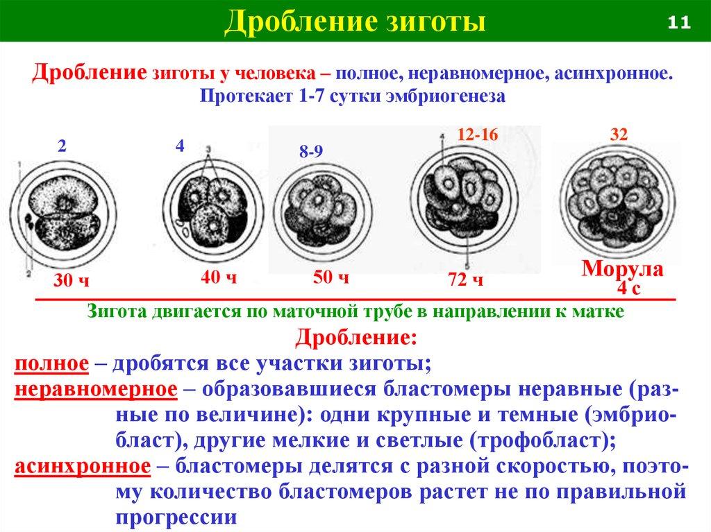 spermatogenez-cheloveka-lemeza