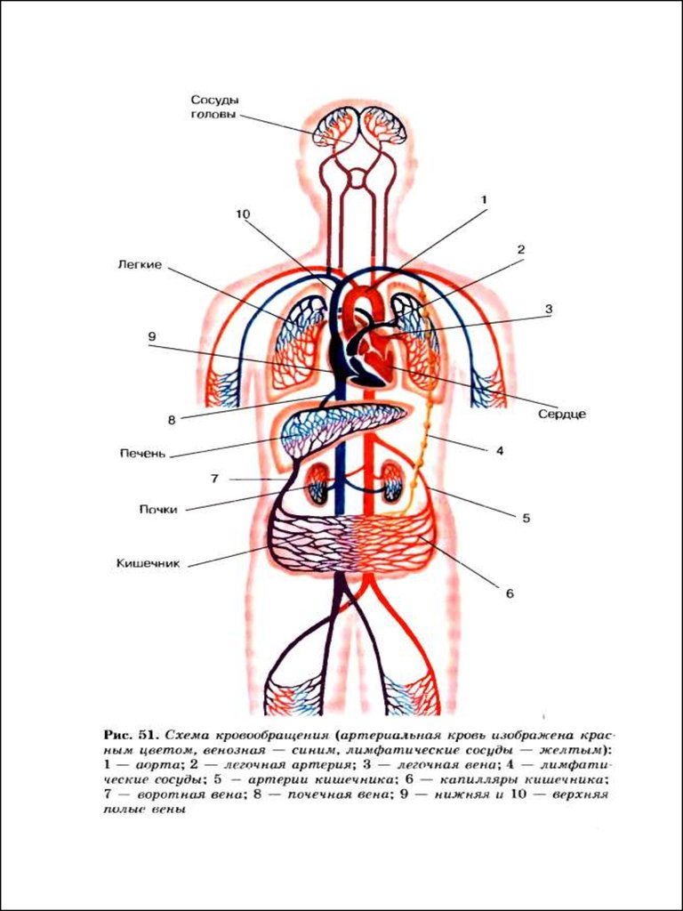 кровоснабжение кишечника схема