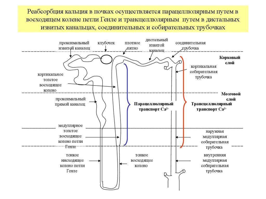 Остеобласт