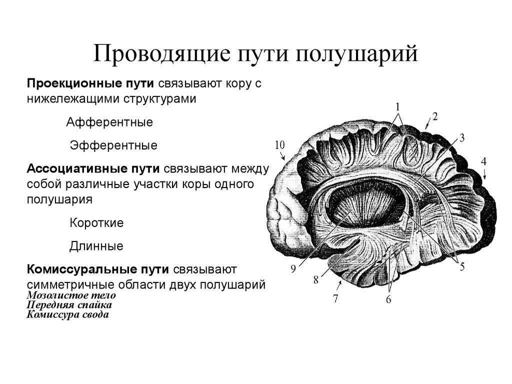 Палеостриатум