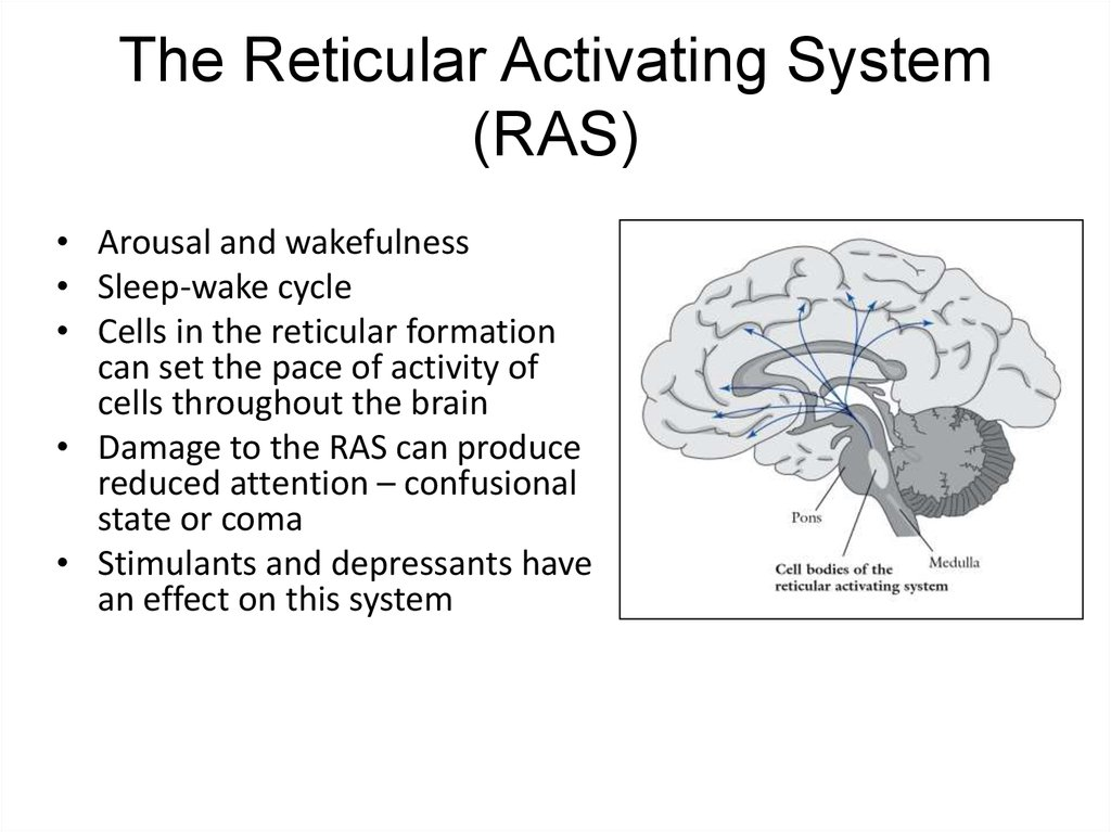 Reticular Activating System Definition amp Function Video 2515956 ...