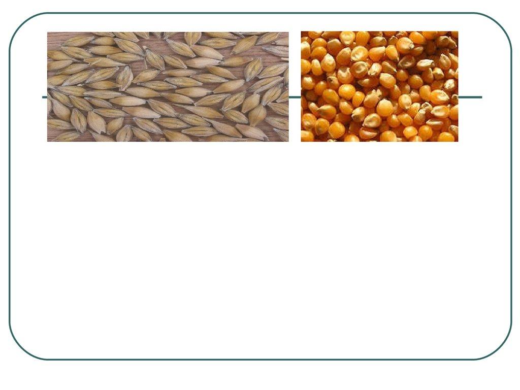 вирощування озимого ячменю: