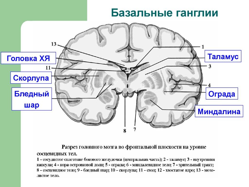 GABA and the Basal Ganglia 160 Progress in Brain