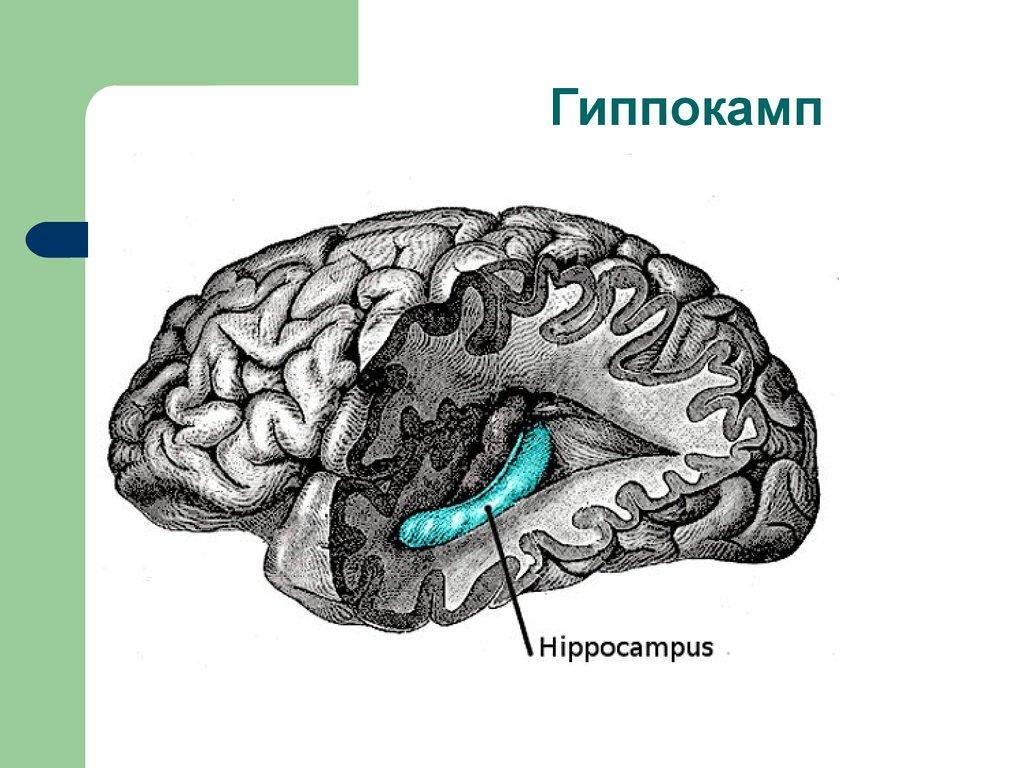 Human brain anatomy hippocampus - digitalspace.info