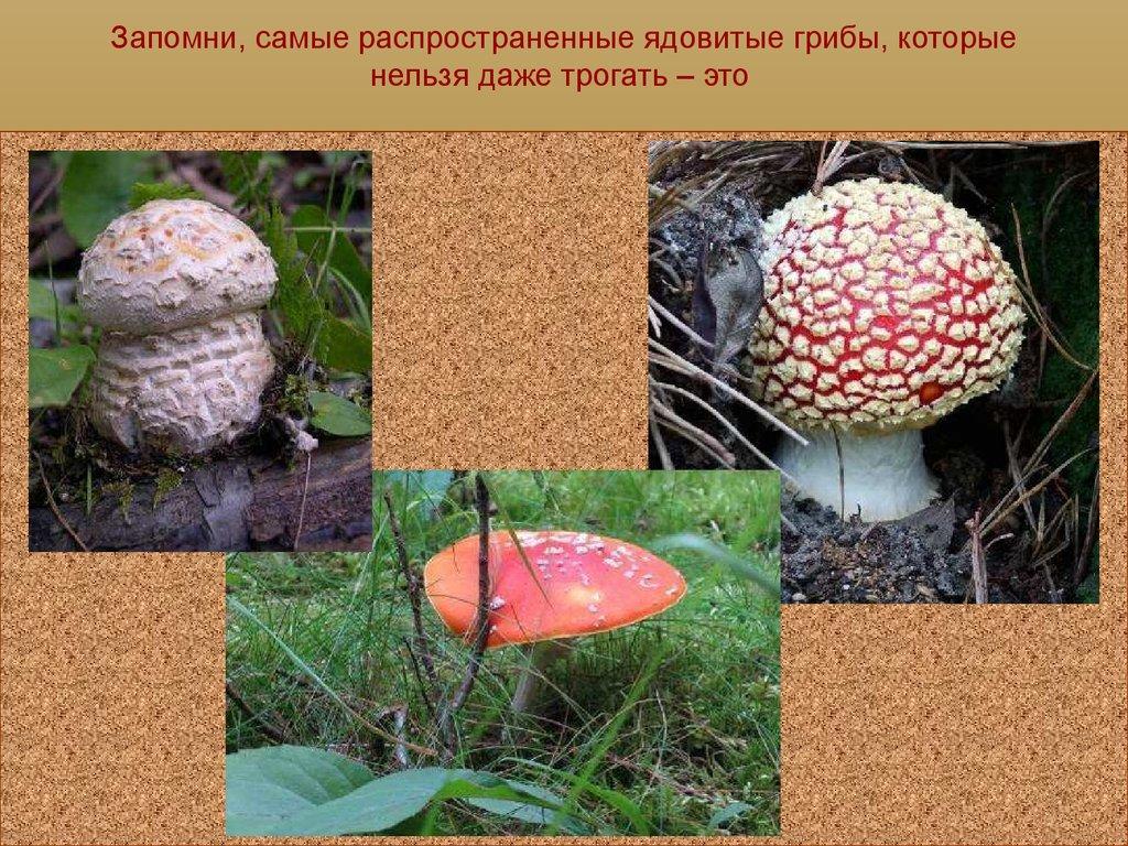 Мухомор род пластинчатых грибов