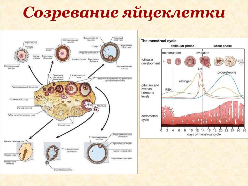 Сперматозоид идущий против течения