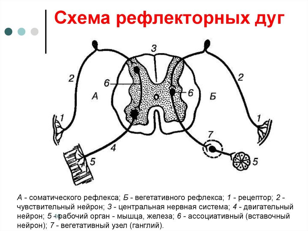 Моно и полисинаптические рефлексы схема
