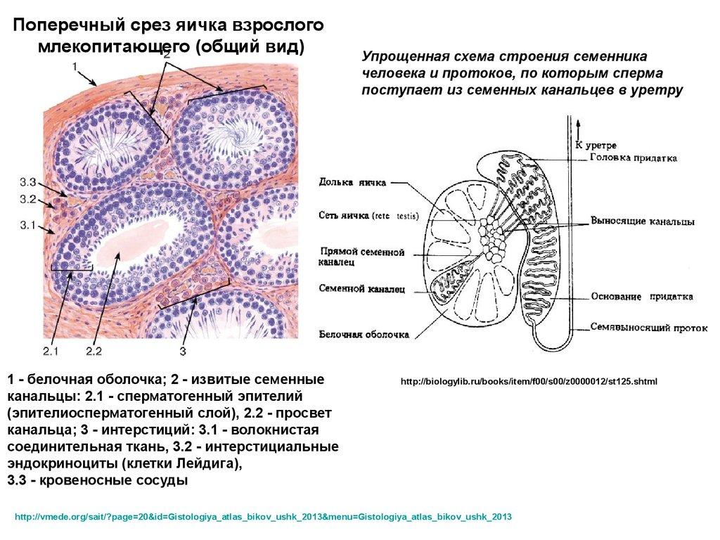 строение женских органов схема