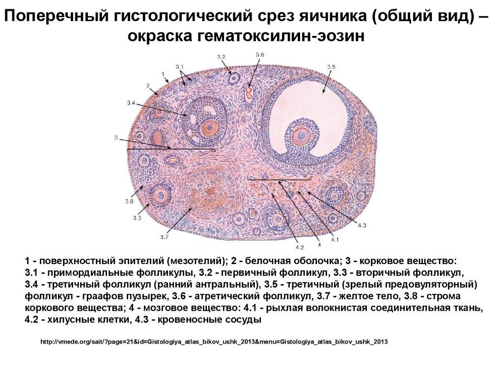 Мужская половая система сперма