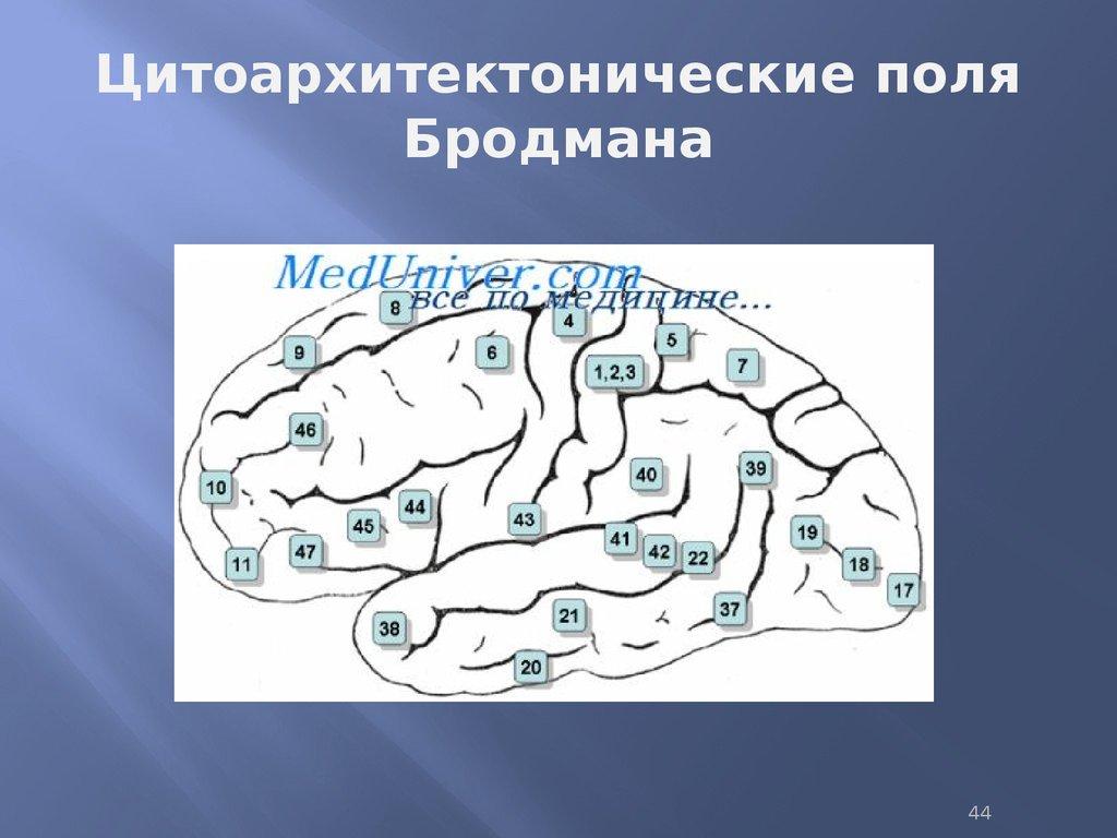 Поля Цитоархитектонические Бродмана