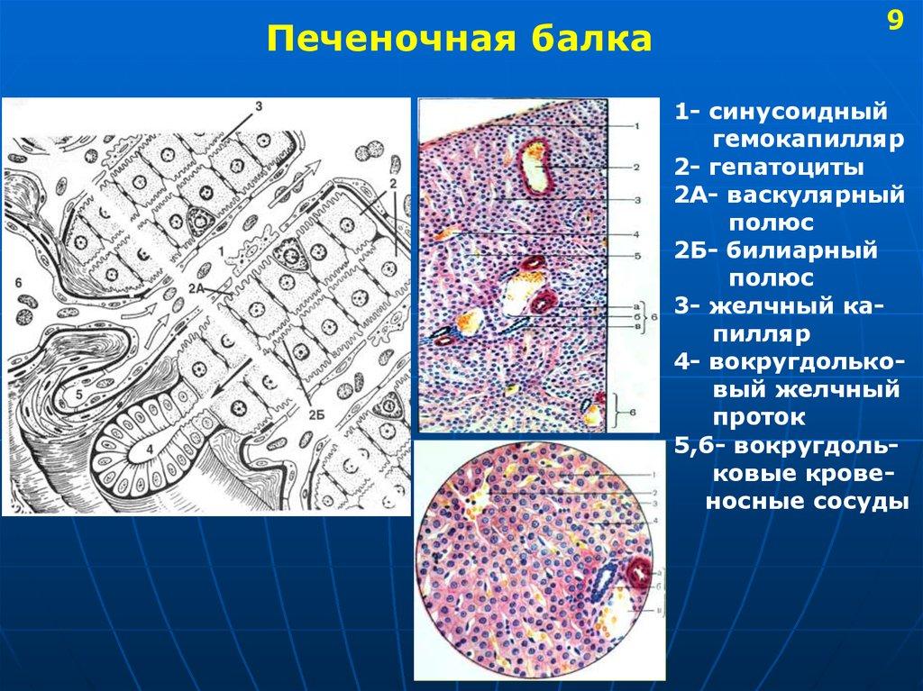 гепатит с и потенция у мужчин