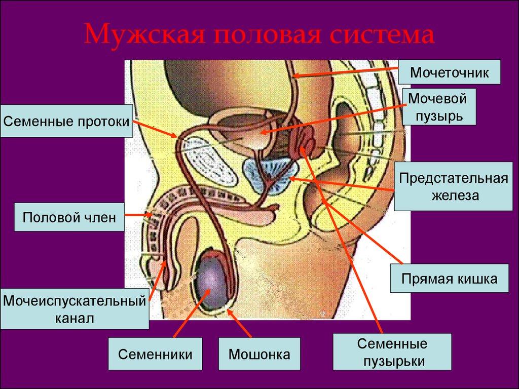 картинки мужского полового органа