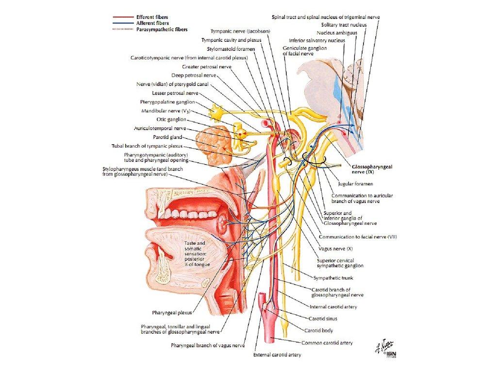 slide-32.jpg (1024×768) | Нейрология | Pinterest