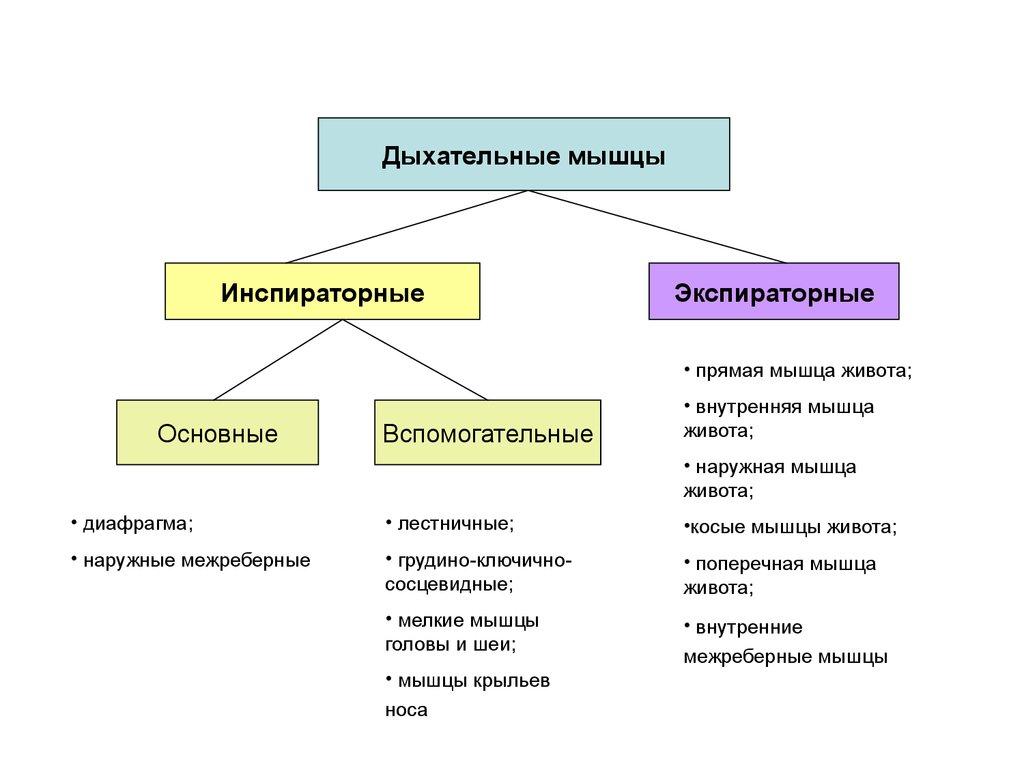 схема легких по сегментам рисунок