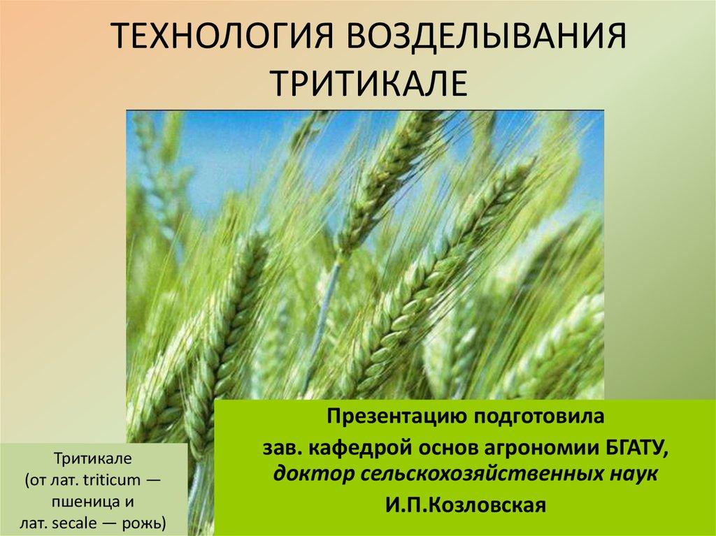 Выращивание тритикале 59