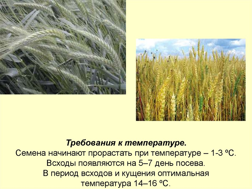 Выращивание тритикале 53