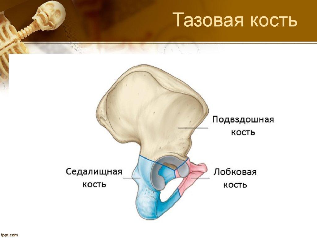 Ilium bone anatomy
