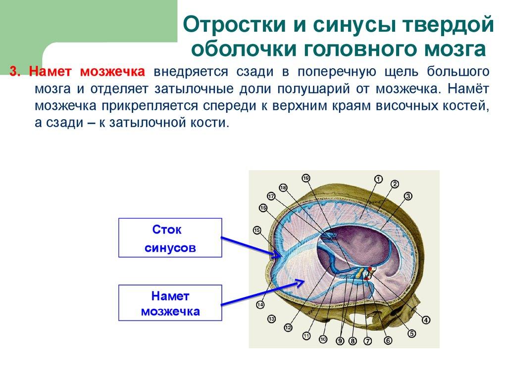 Строение и функции позвоночника  Позвоночникorg
