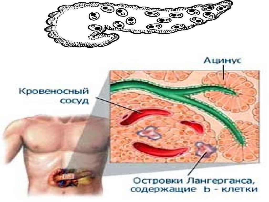 В какой желез производится инсулин