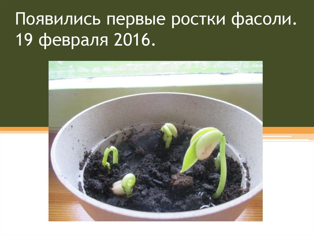 Выращивание фиалка трехцветная 5