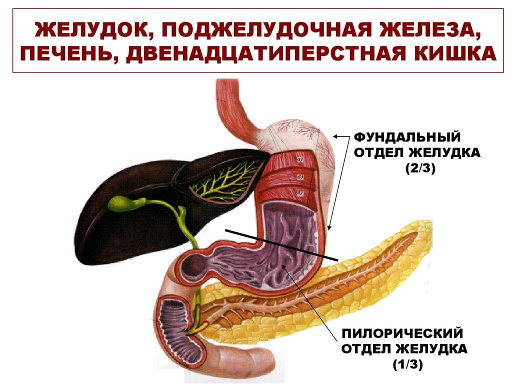 Pancreas anatomy picture