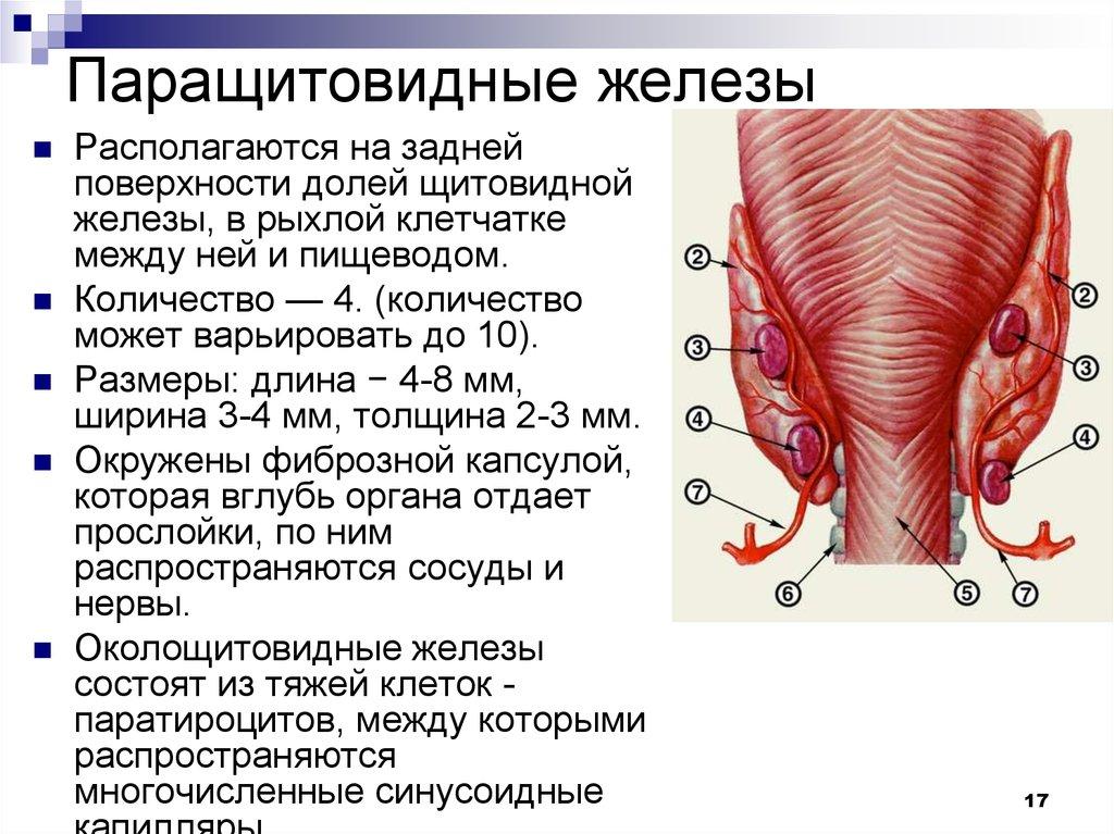 Thyroid surface anatomy