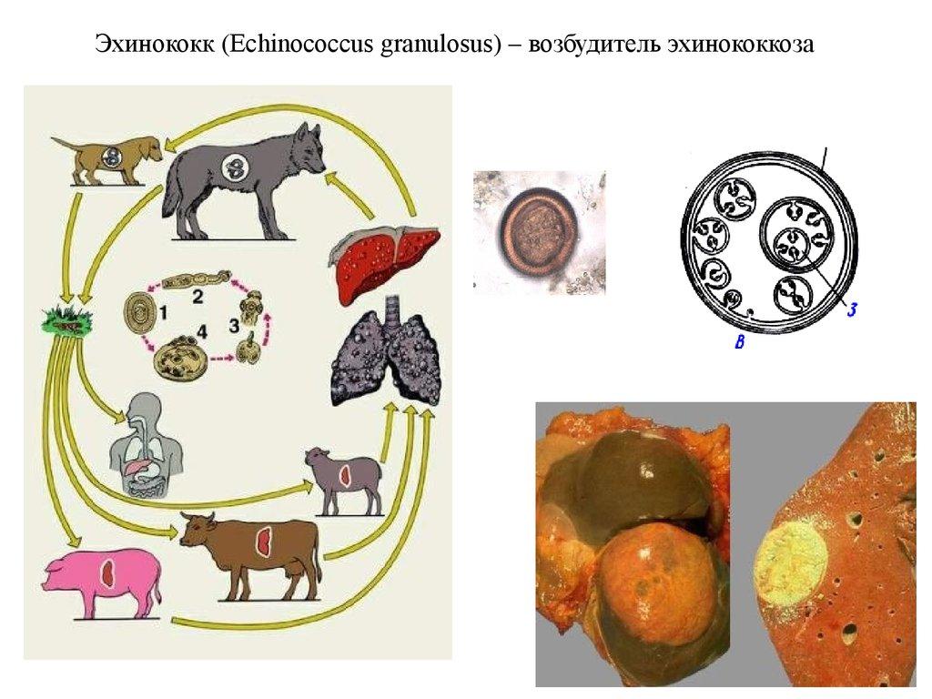 круглые черви паразиты человека животных фото