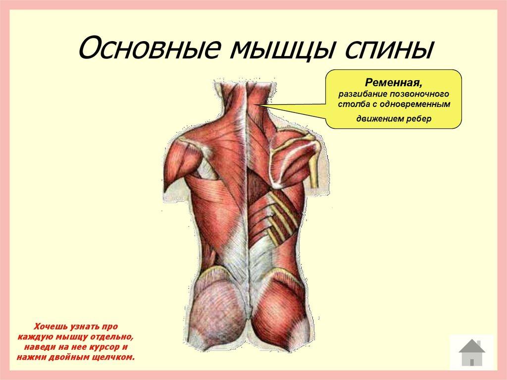 основные мышцы человека. таблица