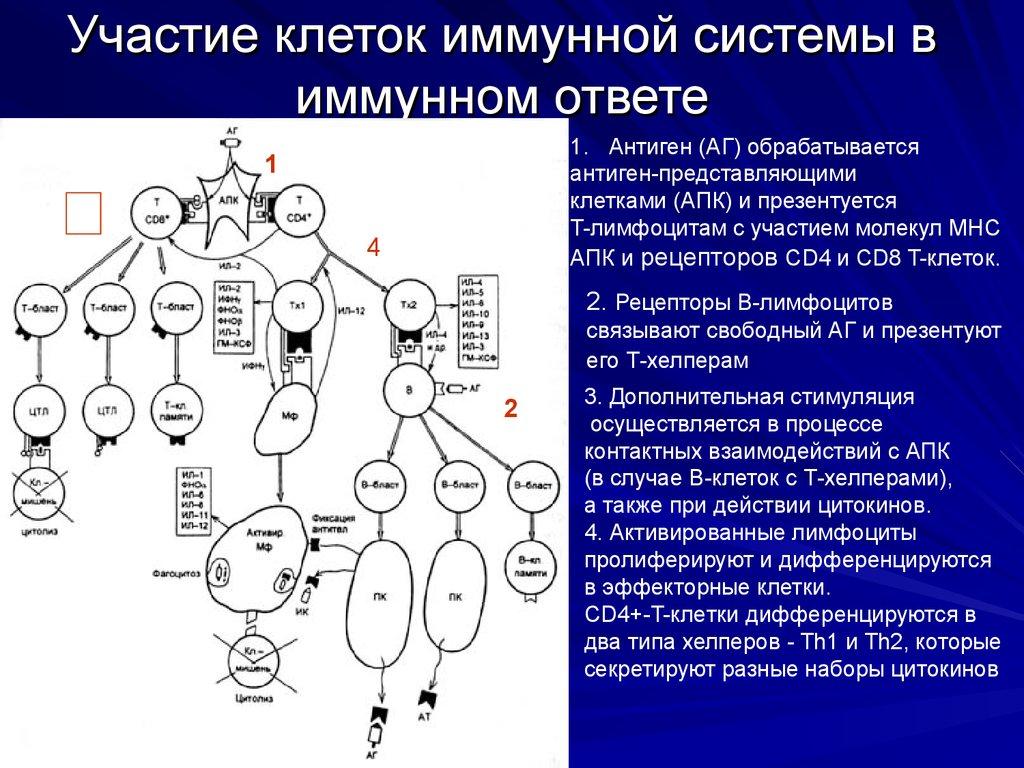 Sistema imunitário  Wikipédia a enciclopédia livre