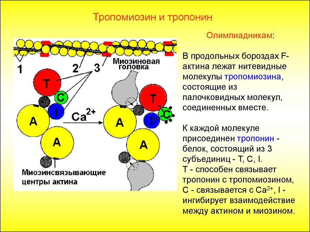 Соединение Нервно-Мышечное