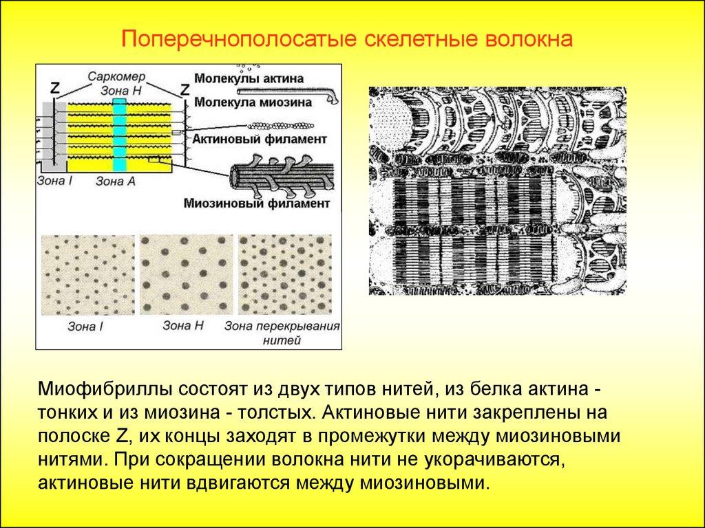Сеть Саркоплазматическая
