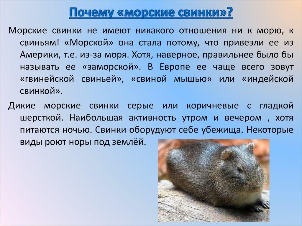 Почему морская свинка называется морская свинка