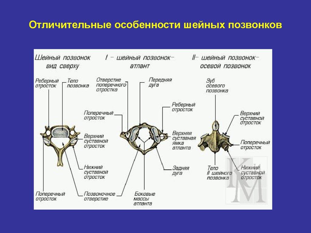 6 функций костной системы человека: