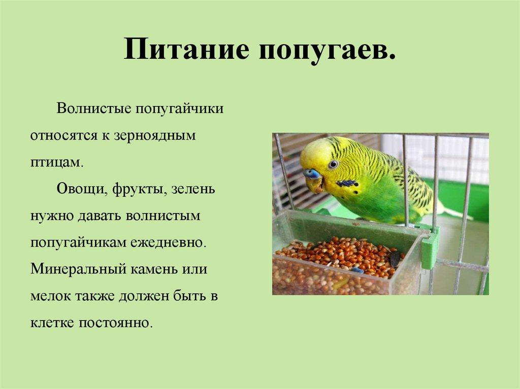 Как кормить волнистых попугайчиков в домашних условиях