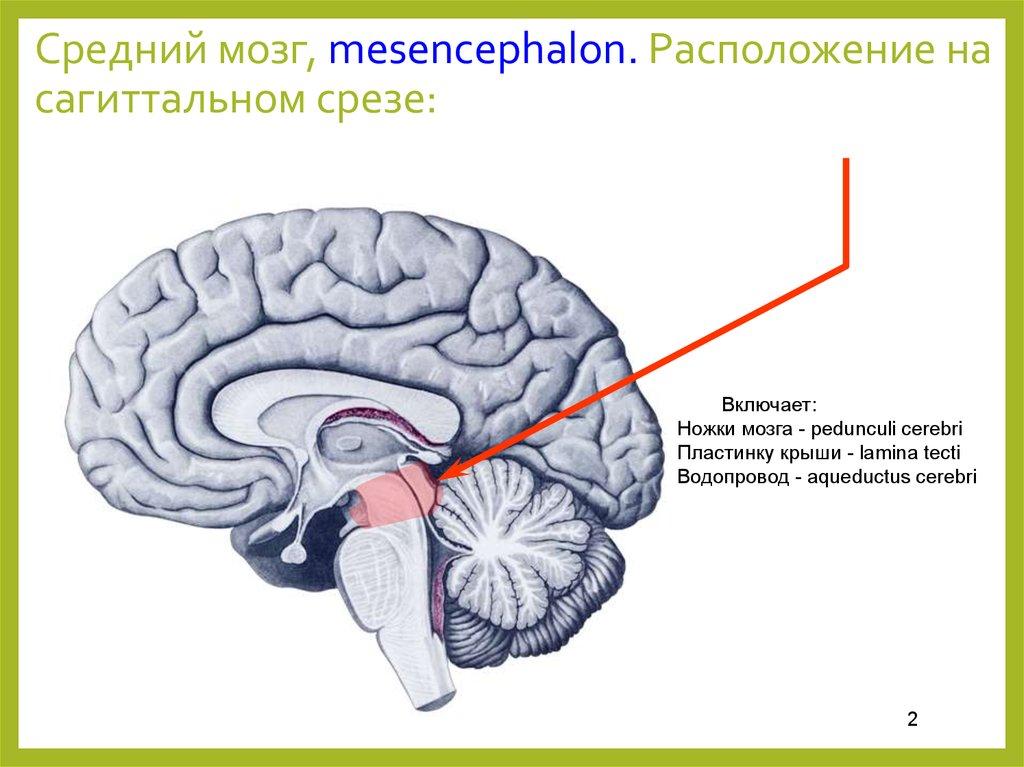 Строение и функции   ponchikovnet